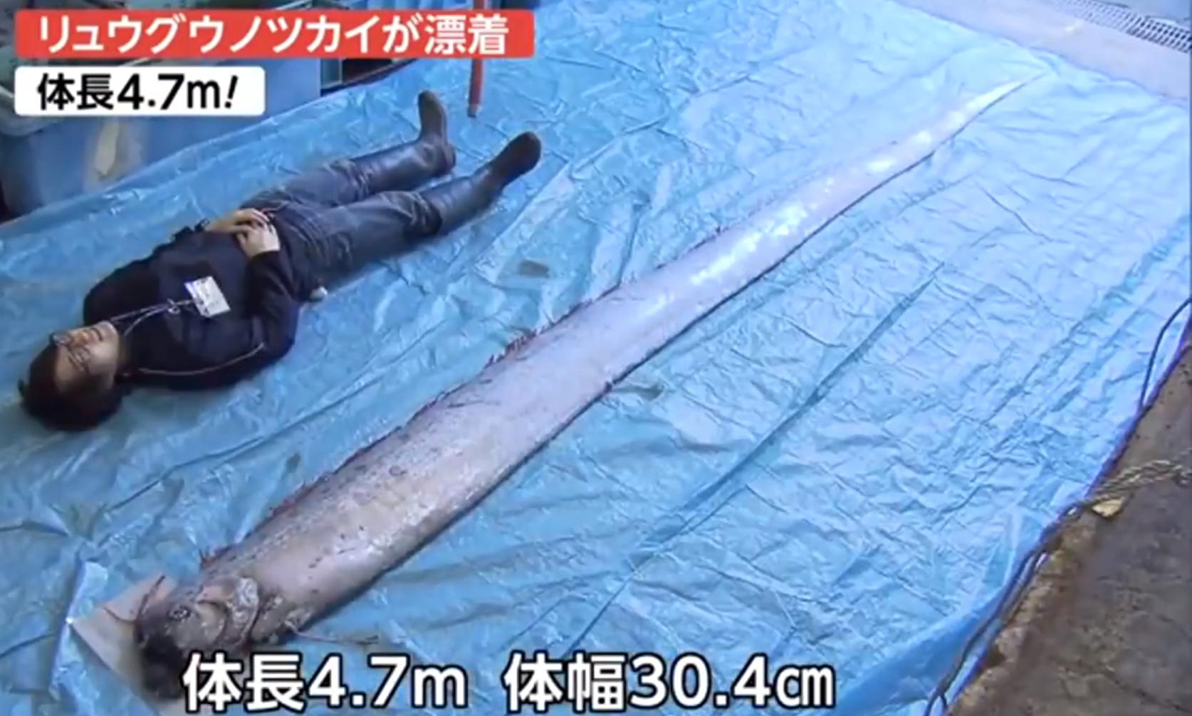 地震前兆? 日本现4.7米深海巨鱼(图)