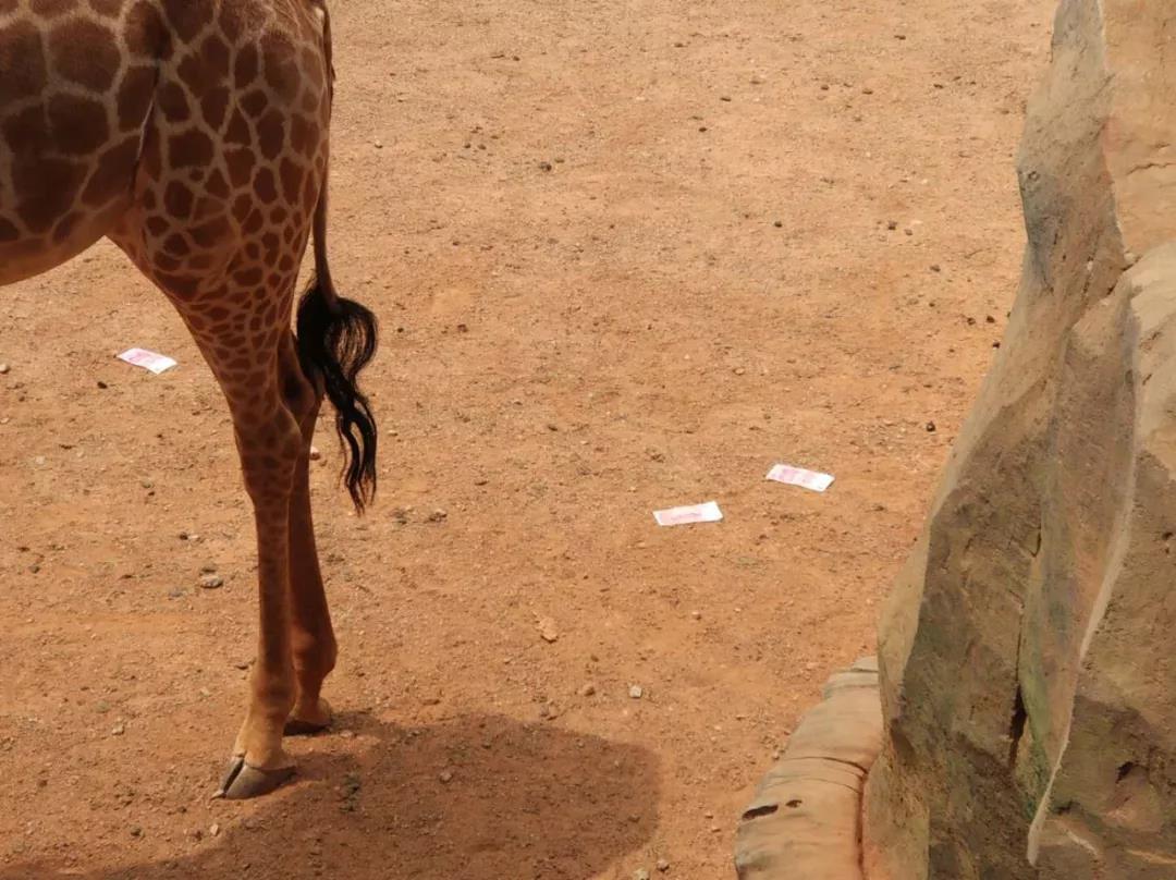 游客用近万元投喂长颈鹿?云南野生动物园发文寻失主