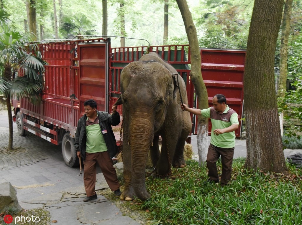 ag游戏直营网|平台园中的大象相亲现场  5月10日报道,2019年5月10日上午9点,一辆红色大卡车载着一头大象驶入杭州ag游戏直营网|平台园,大象在两名工作人员的带领下,踩着草块慢慢走下车子。据一名工作人员透露,这头母象来自杭州野生ag游戏直营网|平台园,是来杭州ag游戏直营网|平台园配种的。  现场图  现场图  ag游戏直营网|平台园中的大象相亲现场 ag游戏直营网|平台之间也有动人爱情:上海ag游戏直营网|平台园两头大象相守43年,与饲养员一起慢慢变老  说起大象版纳,很多上海人并不陌生。作为上世纪70年代科教片《捕象记》的主角,它承载着一代老上海人的记忆。 01.