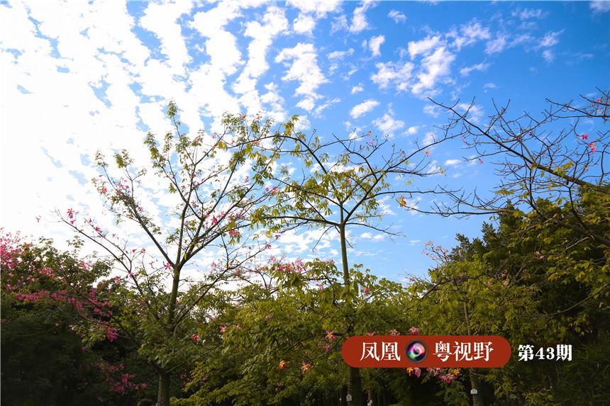 """图为:获得""""广州国际城市创新奖""""的友谊林,成片的""""异木棉""""在""""广州蓝""""衬托下格外美丽。"""