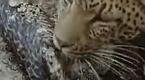 母豹逼蟒蛇吐出被吃掉幼仔 自己又吃掉幼仔