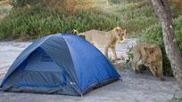 实拍情侣野外露营 醒来发现两只狮子在舔帐篷