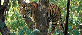 实拍老虎为追捕猴子爬上大树 下一秒悲剧了