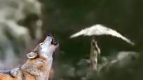 实拍老鹰捕捉狼崽拎上半空 母狼猎食回窝发现拼命追赶