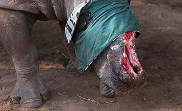 犀牛遭偷猎者毒手 一半面孔被砍掉
