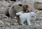 """白猫和野狐疑似""""相爱"""" 形影不离觅食玩耍"""