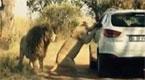 女子狮园中摇下车窗 下一秒被母狮活活咬死