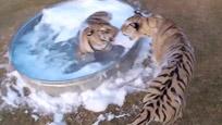 两只老虎为洗泡泡浴大打出手