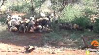 近距离实拍野狗群生吃小鹿 游客发出阵阵尖叫声