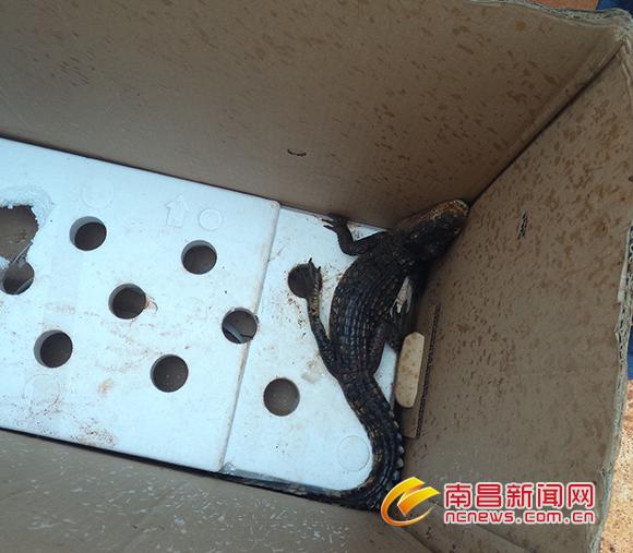 南昌地铁2号线工地发现鳄鱼幼崽 工友轮流照看
