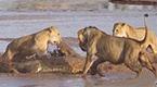 饥饿鳄鱼遇上饥饿的非洲狮 场面激烈血腥
