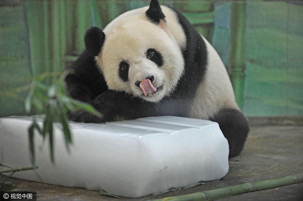 """资讯 正文  1/5 2016年7月24日,武汉动物园,大熊猫""""伟伟""""趴在冰块上"""