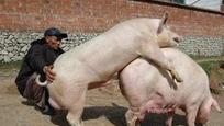 令人惊讶动物性行为:猪高潮持续30分钟
