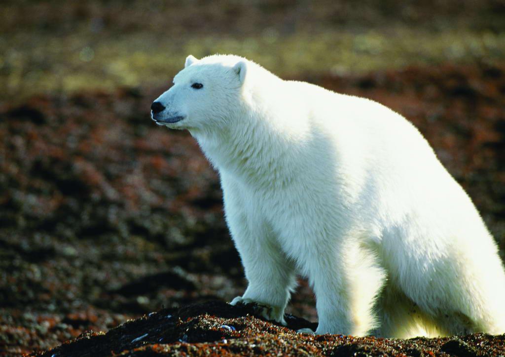 咬伤北极熊馆被严重闯入小兔子的洋娃娃怎么做图片