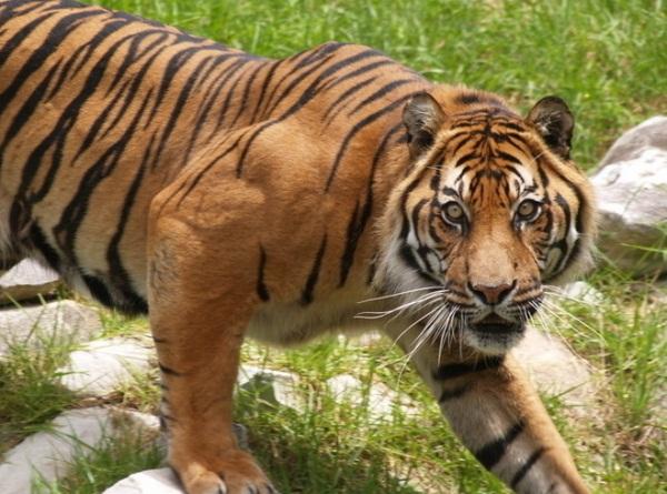 用老虎做微信头像的图片