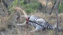 豹子咬斑马嘘嘘的地方 一动作让人大笑