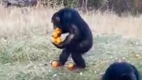 这只猩猩成精了!像不像吃自助时候的你