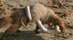 印度獴大战毒蛇 战力超强一口咬断脖颈
