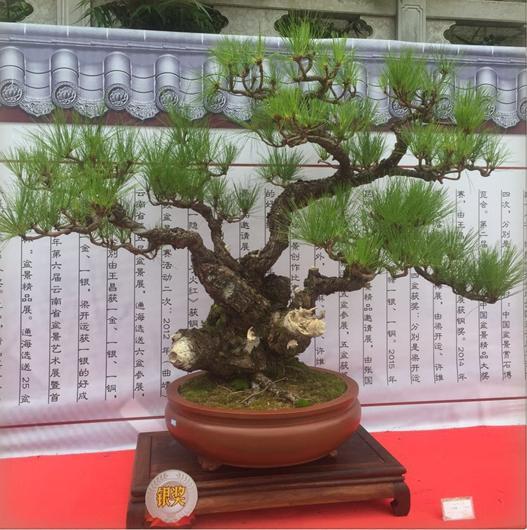 与云南松一起成长的日子:记云南松盆景艺术工作者杨