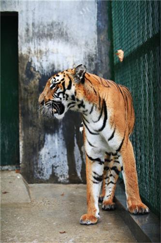 华南虎是中国的十大濒危动物之一