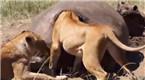 实拍狮子对河马尸体做不雅举动 原因让人咋舌