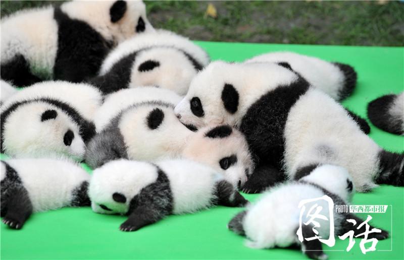 23只大熊猫幼崽排排坐,萌化了.