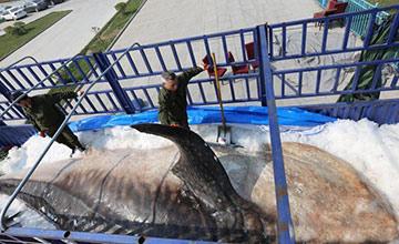 """10吨鲸鲨遗体将成海洋博物馆""""镇馆之宝"""""""