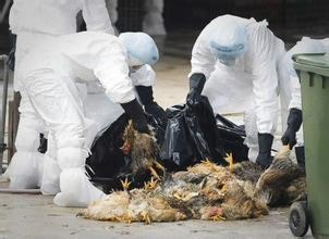 甘肃湖北连发禽流感已扑杀8万家禽 两起疫情均为H5N6亚型高致病性