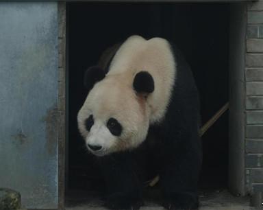 """大熊猫""""奥运""""和""""韵韵""""在神农架安""""新家"""""""