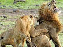 """公狮发情欲""""非礼""""母狮遭嫌弃 被其一掌拍飞"""