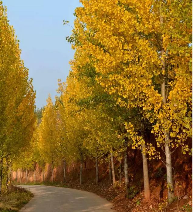 壁纸 风景 森林 树 杨树 桌面 636_699