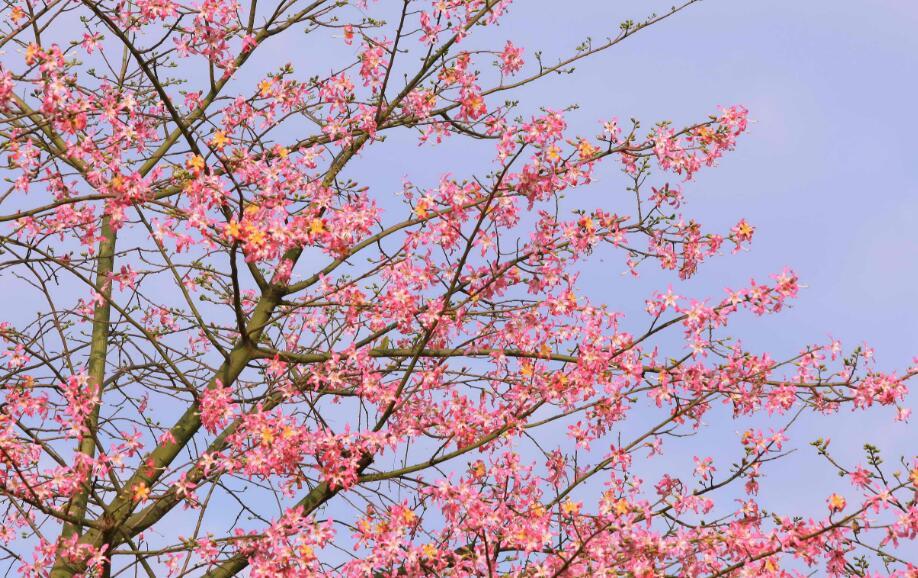 你知道吗?这种花叫美丽异木棉