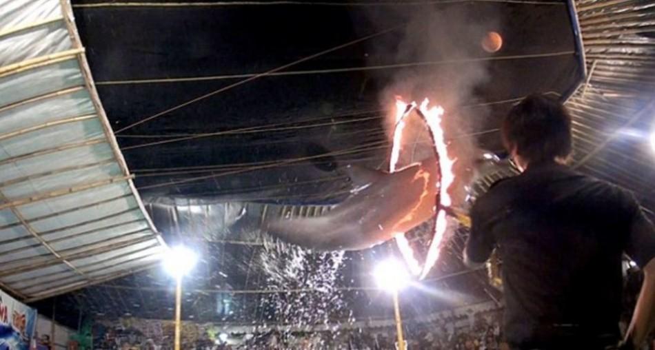 印尼马戏团逼海豚跳火圈 平常关进水箱 - 梅思特 - 你拥有很多,而我,只有你。。。