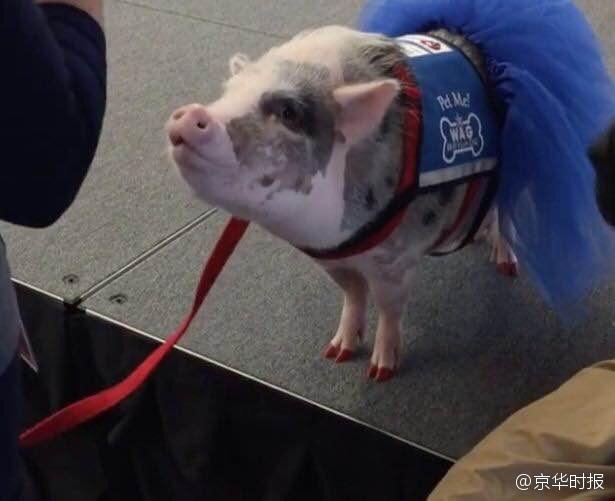 新闻客户端  5.【机场用宠物猪安抚焦虑乘客获好评】起飞前焦虑?