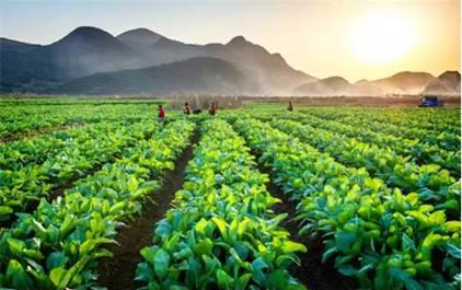 5万连州菜心种成10米大字图片
