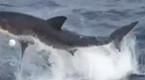 钓鱼时大白鲨咬钩 突然跃出水面吓坏游客