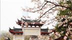 南京鸡鸣寺樱花芬芳开 赏花正当时