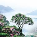 天台山云锦杜鹃节将在4月28日开幕