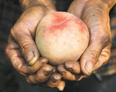 合肥长丰、六安金寨的水蜜桃滞销求帮助