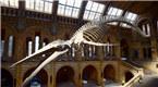 英国自然历史博物馆展出126岁蓝鲸骨骼