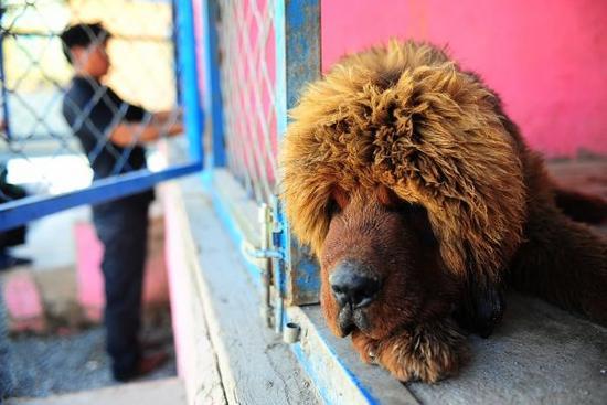 英媒:藏獒在中国失宠 近千只遗弃狗被收容 - 梅思特 - 你拥有很多,而我,只有你。。。
