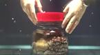 将章鱼囚禁玻璃罐子里 意想不到的画面发生了