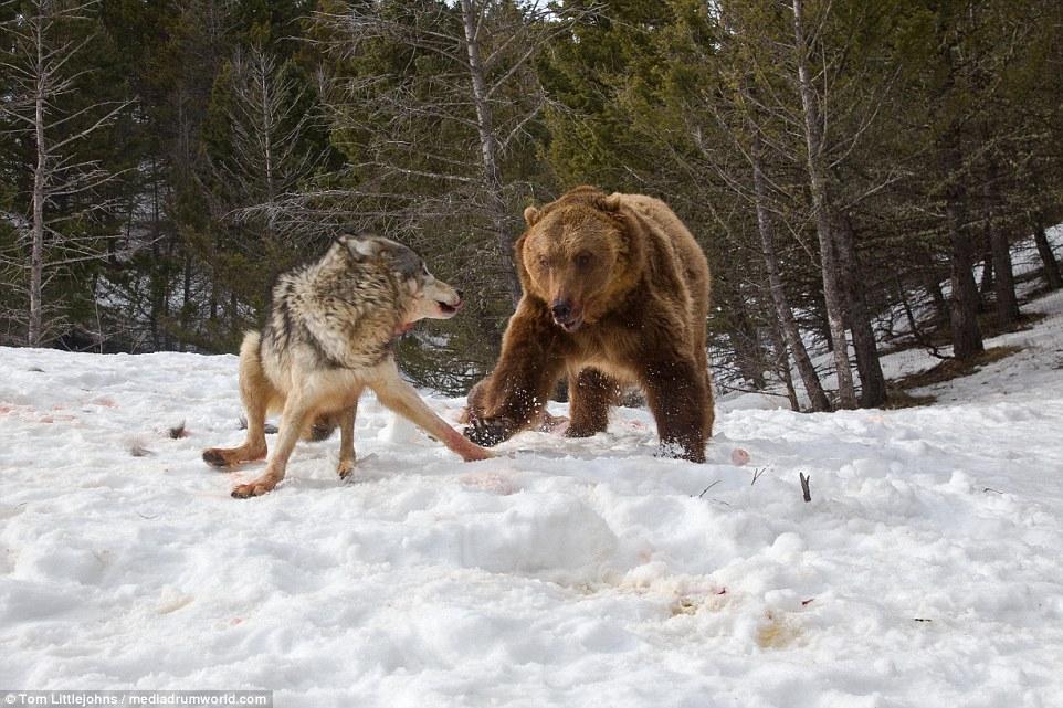 为了保护自己的晚餐,这群狼发现来者不善后立即奋起反抗,试图赶走灰熊
