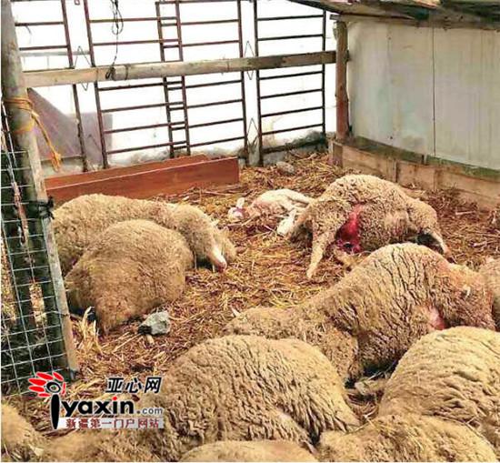 新疆霍城一雪豹咬死36只羊 吃太饱被困羊圈 (图)