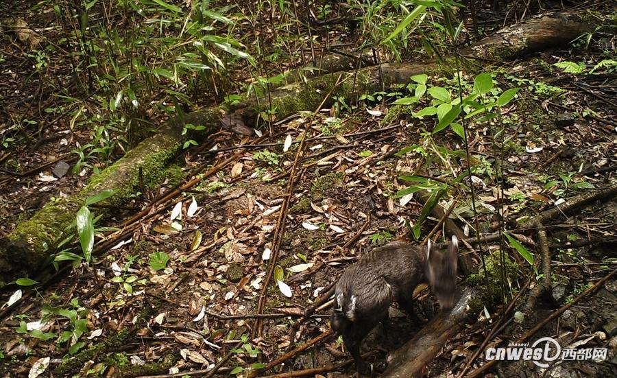 """红外相机下的镇巴山林 镇巴县林业局野生动物保护站丁石燕:""""猕猴带的有幼崽,还有毛冠鹿、小麂带的有幼崽的这些情况来看,我们现在的这个生存环境,是适合于它们的生存、适合于它们的繁衍。"""" 这些野生动物平时见一次都比较难,它们的大量视频画面又是怎么被拍到的呢?镇巴县林业局的工作人员介绍,林场的红外相机大多安装在野生动物经常通过的地方,平时处于休眠状态,一旦周围出现恒温动物身上的热源信号,就会触发相机立即开始工作,先拍照片,再拍10秒的视频。"""