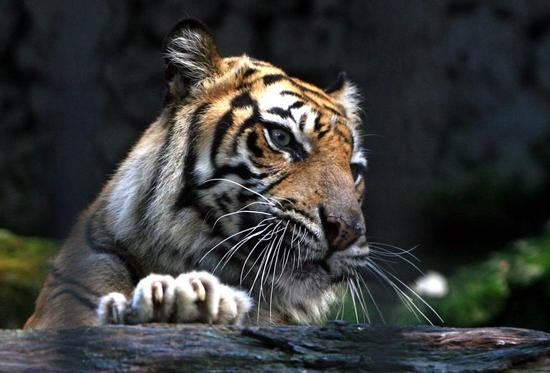 中青报谈宁波动物园老虎伤人:逛动物园也要讲科学