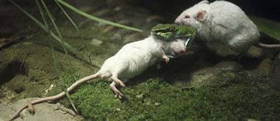 老鼠狂追撕咬猛蛇尾 原来为了救下小老鼠