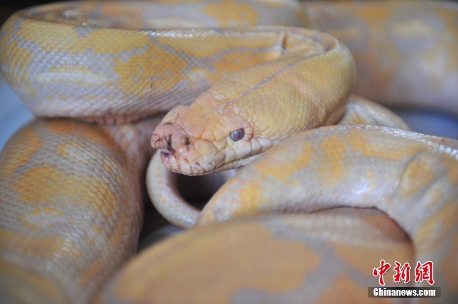 云南野生动物园蟒蛇接受口腔检查