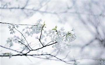 """太子湾""""樱花7日""""之约已开启 快快收好赏樱秘籍"""