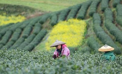 贵州黎平明前茶进入采摘季